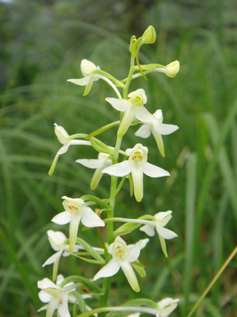 yellow white flowers of Platanthera bifolia orchid