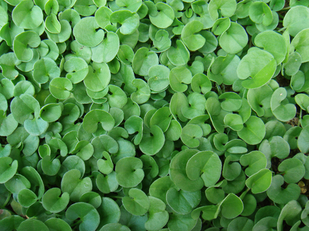 Dichondra repens background