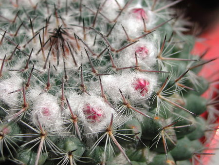 Mammillaria compressa  close up flower Stock Photo