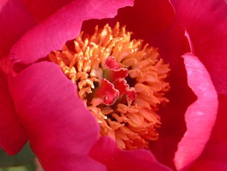 Paeonia officinalis flower close up