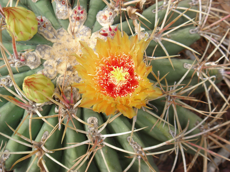 Ferocactus orange and red flower close up