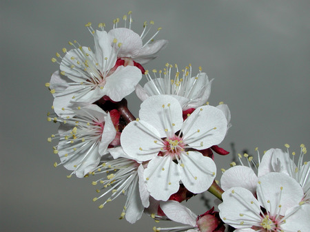 white blossom of Prunus armeniaca tree