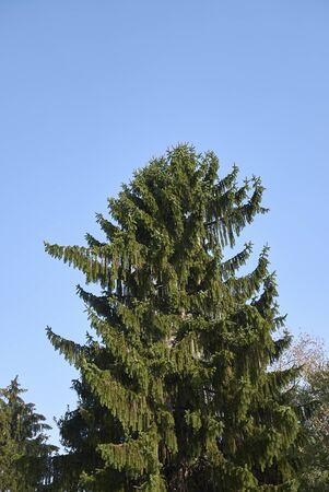 immergrüner Baum von Picea abies Standard-Bild