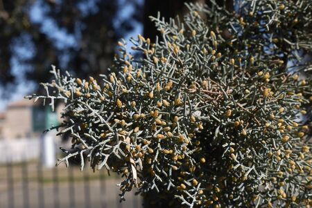 winter blossom of Cupressus arizonica tree Фото со стока
