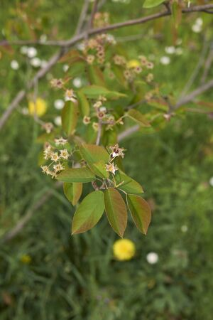 Amelanchier canadensis branch with inflorescence