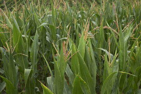 Zea mays, corn field 写真素材