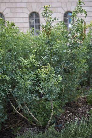 Ruta graveolens plants in a flowerbed