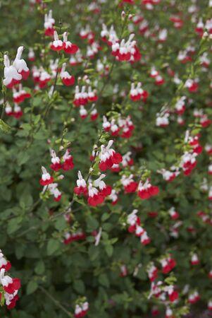 colorful flowers of Salvia coccinea plants