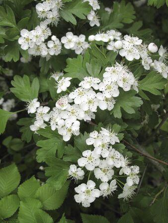 white inflorescence of Crataegus monogyna shrub  Stok Fotoğraf