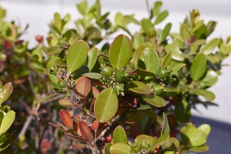 Buxus microphylla close up with fresh fruit