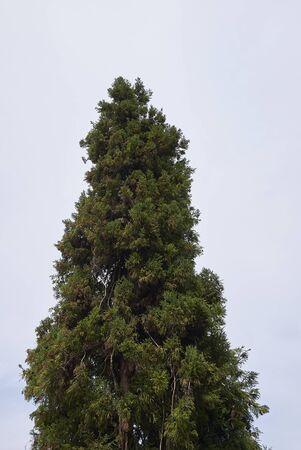 Cryptomeria japonica evergreen tree Stock fotó