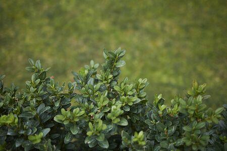 evergreen foliage of Buxus sempervirens shrub