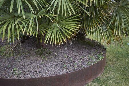 Chamaerops humilis palms in a garden