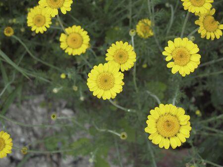 yellow flowers of Cota tinctoria plants