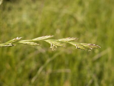 flowered spike of Lolium perenne grass