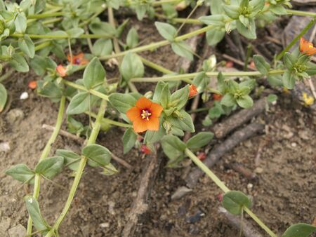 red tiny flowers of Anagallis arvensis plant