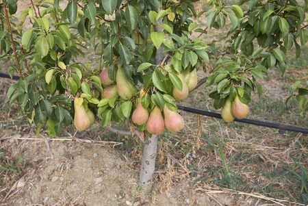 Pyrus communis orchard in Italy