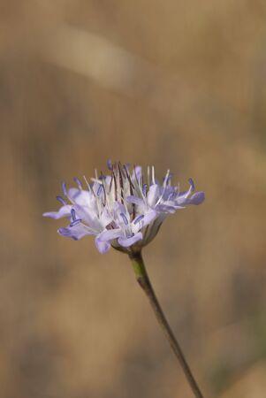 violet flowers of Cephalaria transsylvanica plant Banco de Imagens