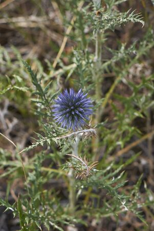 blue purple flowers and spiny leaves of Echinops ritro plant