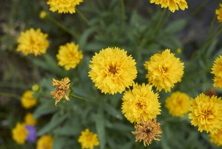 yellow flowers of Coreopsis grandiflora in a flowerbed Stock Photo