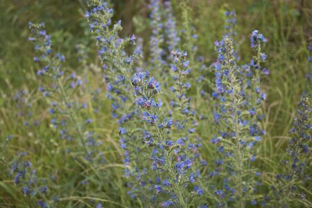 blue and violet flowers of Echium vulgare plant