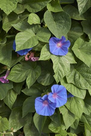 blue purple flowers of Ipomoea indica plant 스톡 콘텐츠