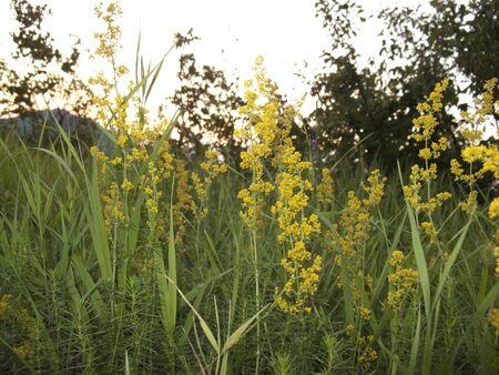 yellow inflorescence of Galium verum plant