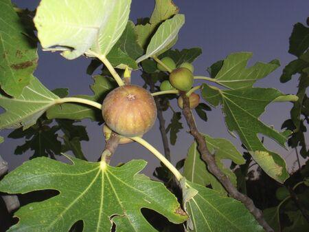 fresh figs on Ficus carica tree Banco de Imagens - 135130233