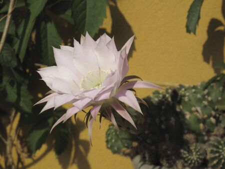 white and pink flower close up of Echinopsis multiplex cactus