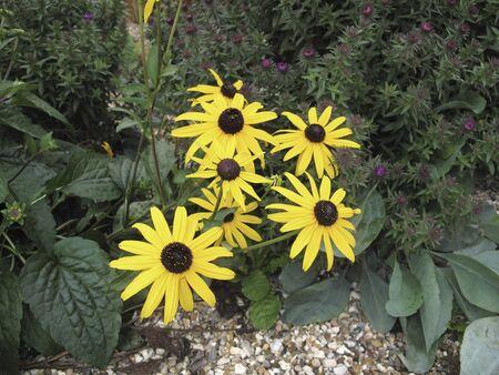 Rudbeckia fulgida yellow flowers Banco de Imagens - 135130299