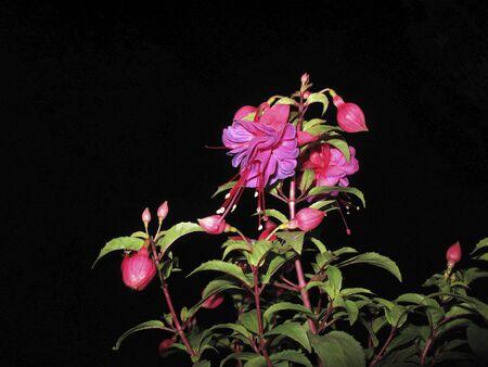 pink and pruple flowers of Fuchsia shrub Banco de Imagens - 135130796