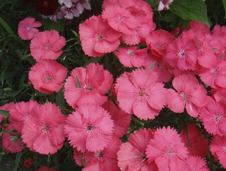 colorful flowers of Dianthus plants in a garden Banco de Imagens - 135130443