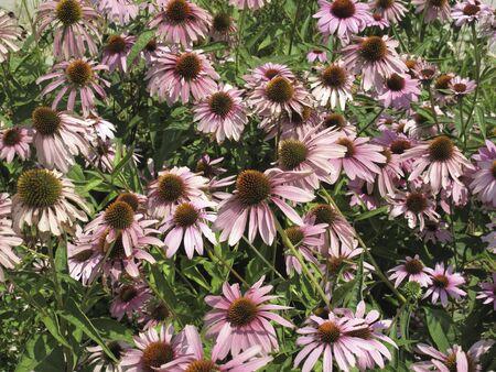 pink and orang flowers of Echinacea purpurea plant Banco de Imagens - 135130400