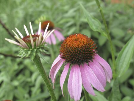 pink and orang flowers of Echinacea purpurea plant Banco de Imagens - 135130436