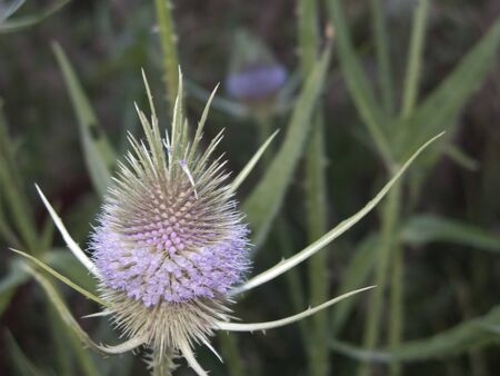 purple inflorescence of Dipsacus fullonum plants