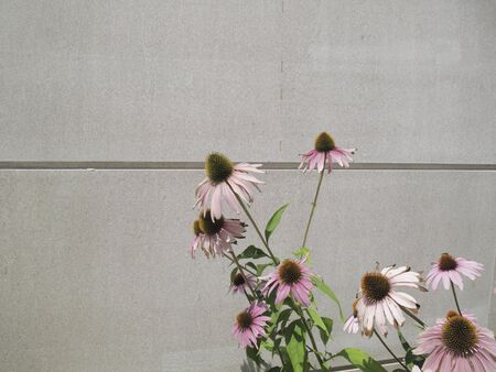 pink and orang flowers of Echinacea purpurea plant Stock Photo