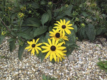 Rudbeckia fulgida yellow flowers Banco de Imagens - 135130505