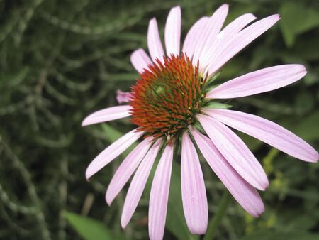 pink and orang flowers of Echinacea purpurea plant Banco de Imagens - 135132293