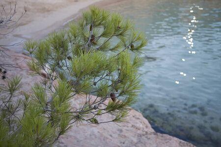 Pinus halepensis trees in Balearic islands Banco de Imagens - 135164265