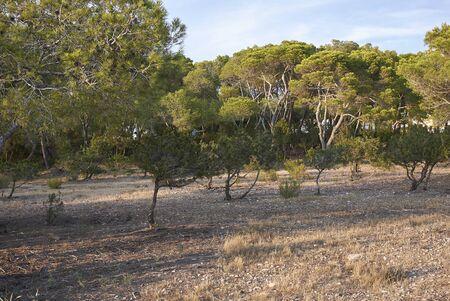 Pinus halepensis trees in Balearic islands Banco de Imagens - 135165203