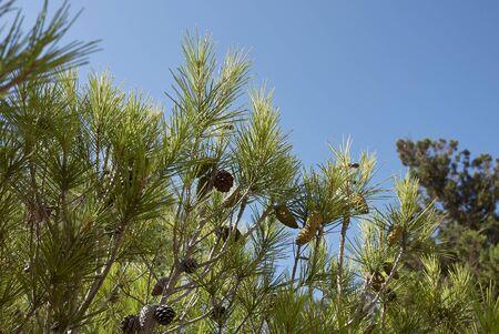 Pinus halepensis trees in Balearic islands Banco de Imagens - 135165201