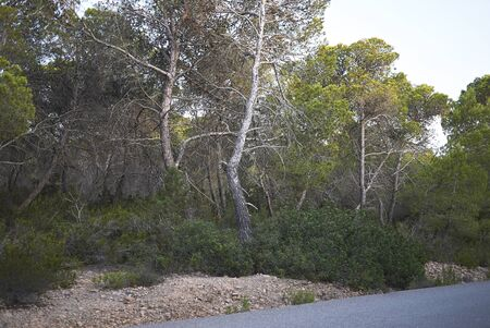 Pinus halepensis trees in Balearic islands Banco de Imagens - 135165189