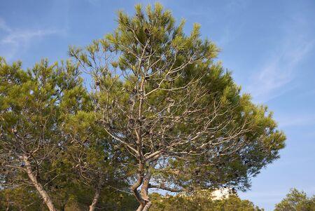 Pinus halepensis trees in Balearic islands Banco de Imagens - 135165199