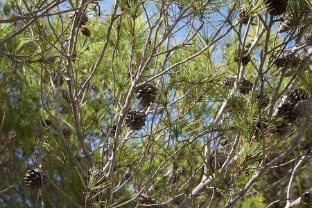 Pinus halepensis trees in Balearic islands Banco de Imagens - 135165186