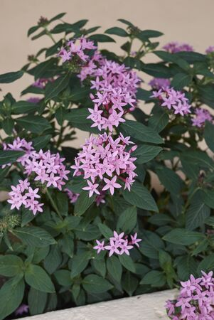 pink flowers of Pentas lanceolata plants in a garden