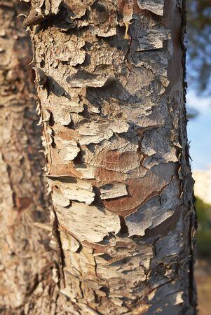 Pinus halepensis trees in Balearic islands Banco de Imagens - 135165196