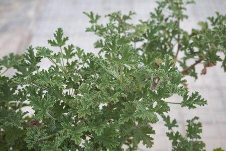 green scented leaves of Pelargonium graveolens plant Banco de Imagens - 135165235