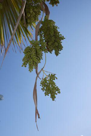 fresh fruits of Washingtonia filifera palm Banco de Imagens - 135273443