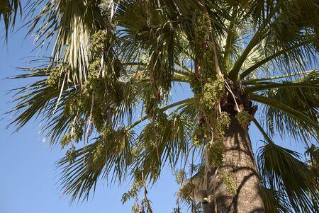 fresh fruits of Washingtonia filifera palm Banco de Imagens - 135273575
