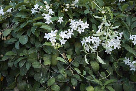 white flowers of Stephanotis floribunda plant Banco de Imagens - 135273553
